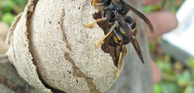 Fin de la campagne de destruction de nids de frelons asiatiques