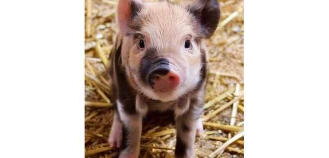 Détenteurs de porcs et de sangliers